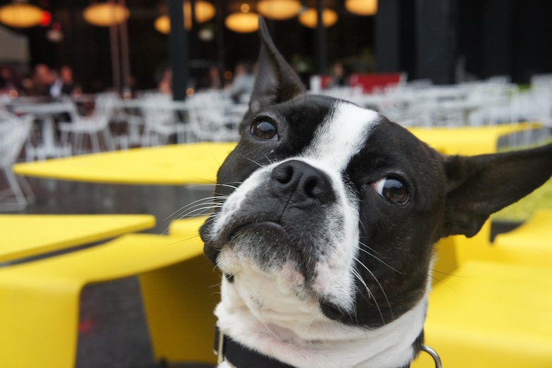Boston Terrier Fashion Hound